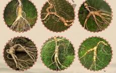 Phương pháp trồng nhân sâm Hàn Quốc tại Việt Nam