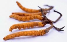 Cách sử dụng đông trùng hạ thảo nguyên con hiệu quả nhất