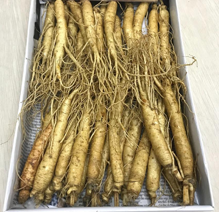 Nhân sâm tươi Hàn Quốc loại 20 - 40 củ 1 kg