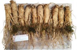Nhân sâm tươi Hàn Quốc loại 10 củ 1 kg