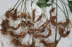 Sâm Ngọc Linh loại 15 củ 1 kg